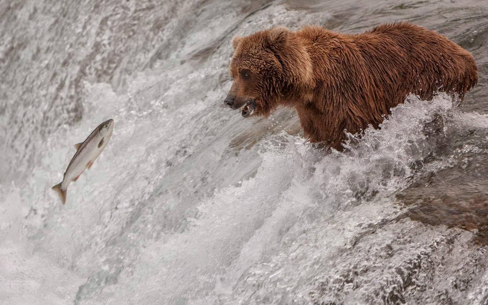 Bear Fishing in a River Wallpaper