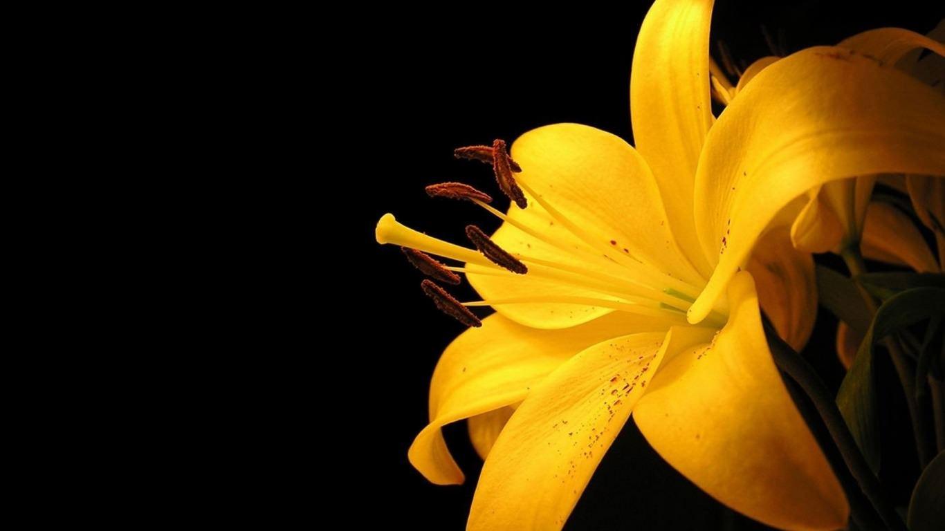 Beautiful Yellow Lily Wallpaper