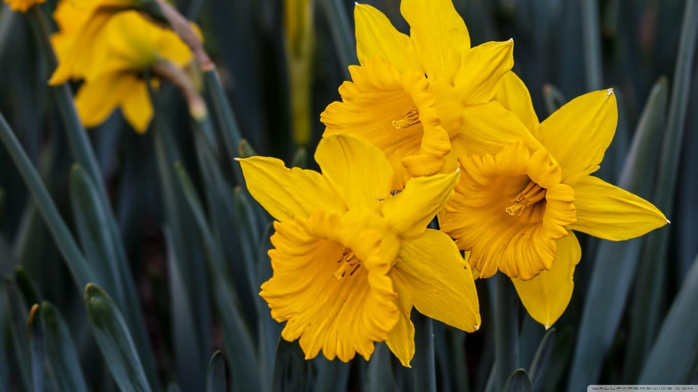 Beautiful Yellow Daffodils Wallpaper