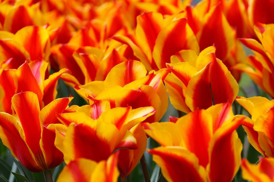 Beautiful Yellow & Red Tulips Wallpaper