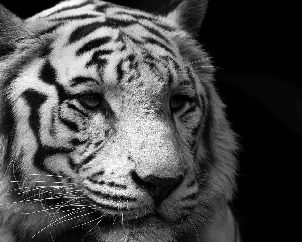 Black & White Tiger Wallpaper