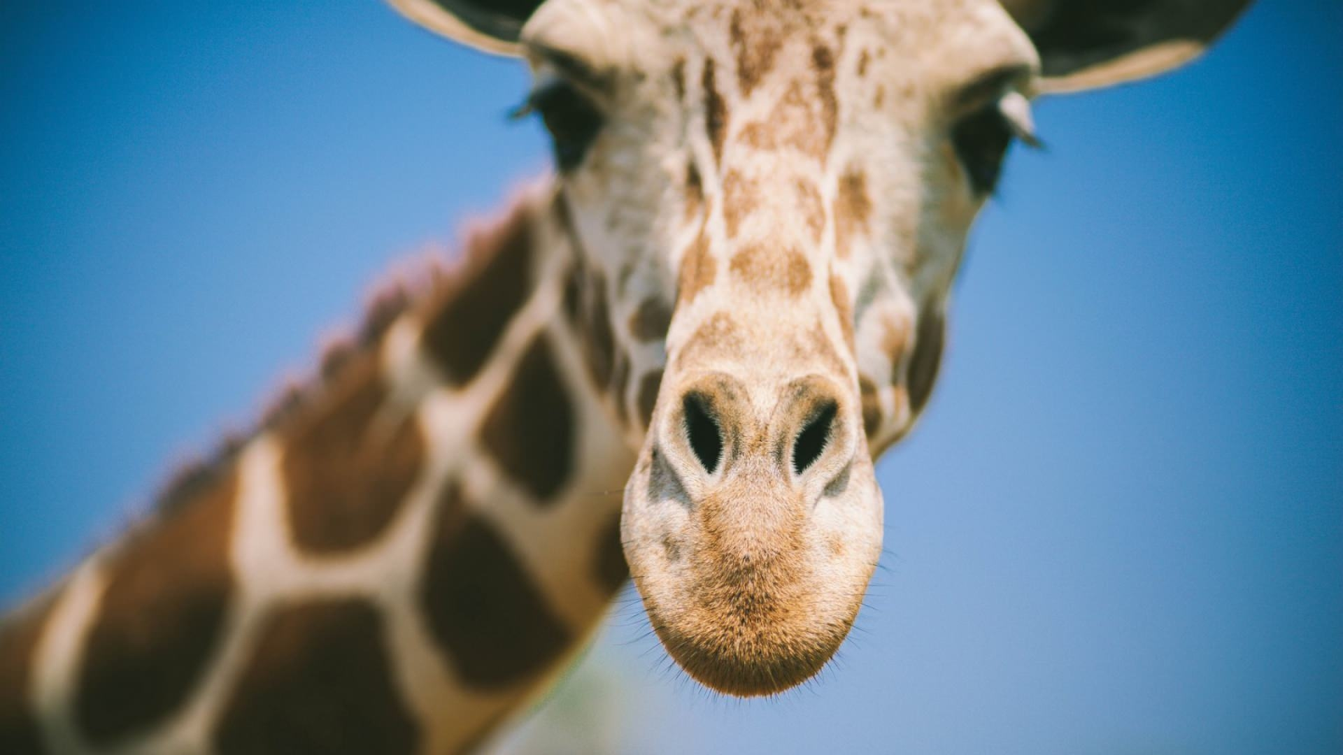 Blurred Giraffe Wallpaper For Free