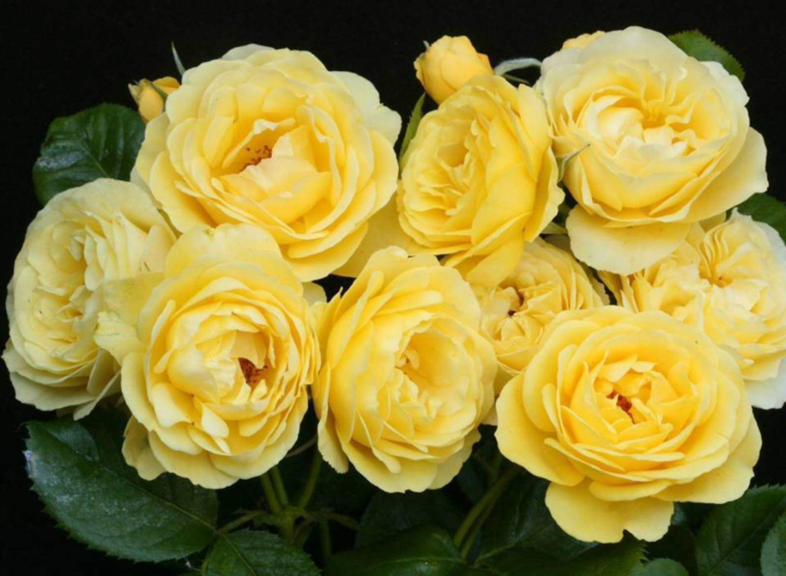 Bunch of Yellow Roses Wallpaper