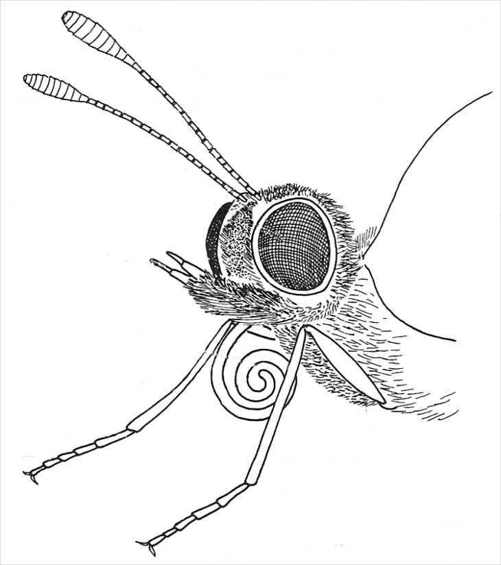 Butterfly Head Drawing