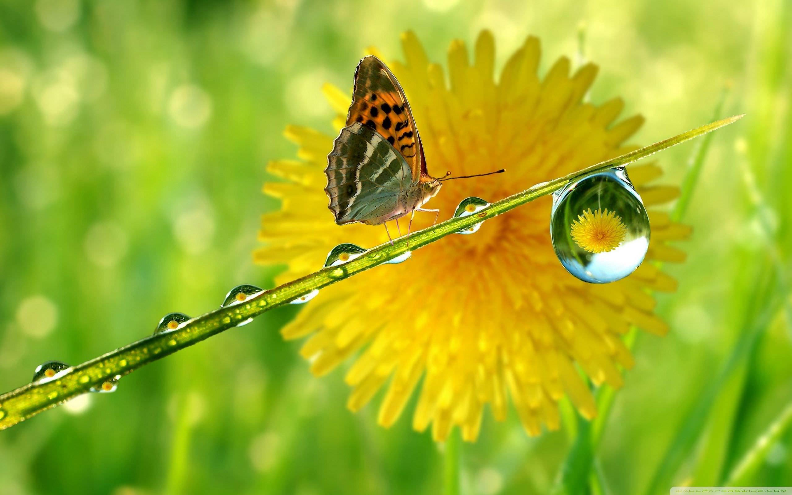 Butterfly Water Drops Wallpaper
