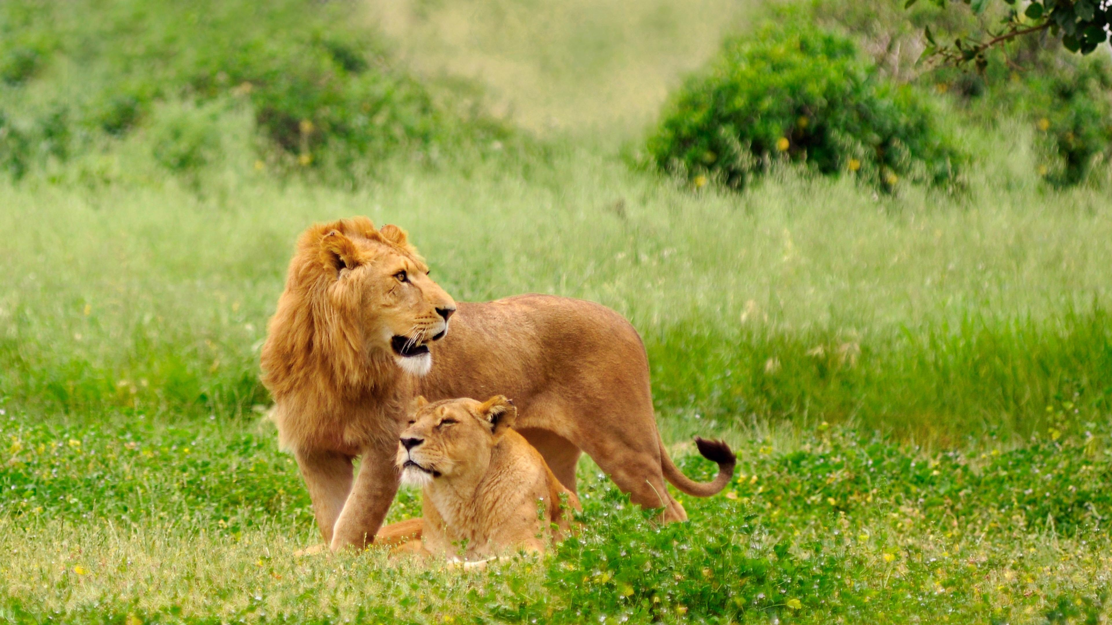 Couple Lions Wallpaper