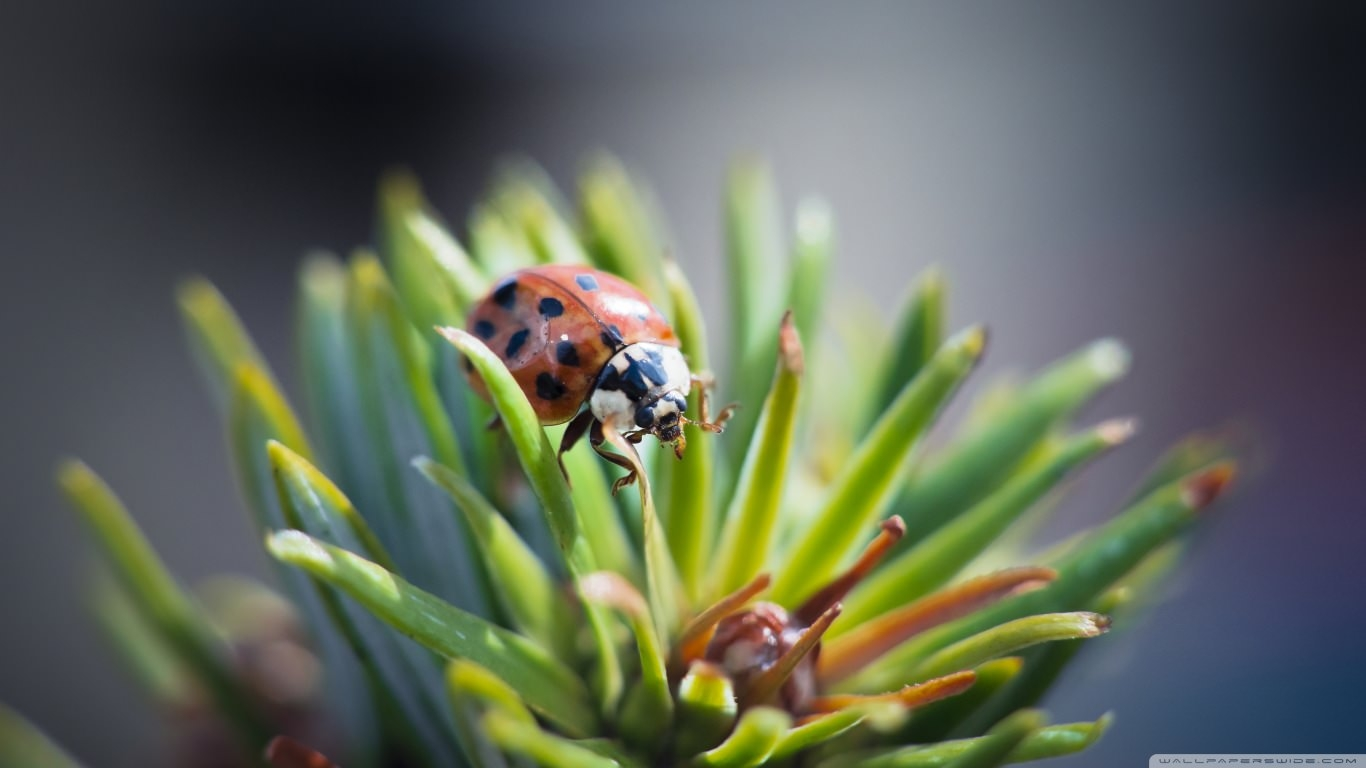 Download Free Ladybug Wallpaper