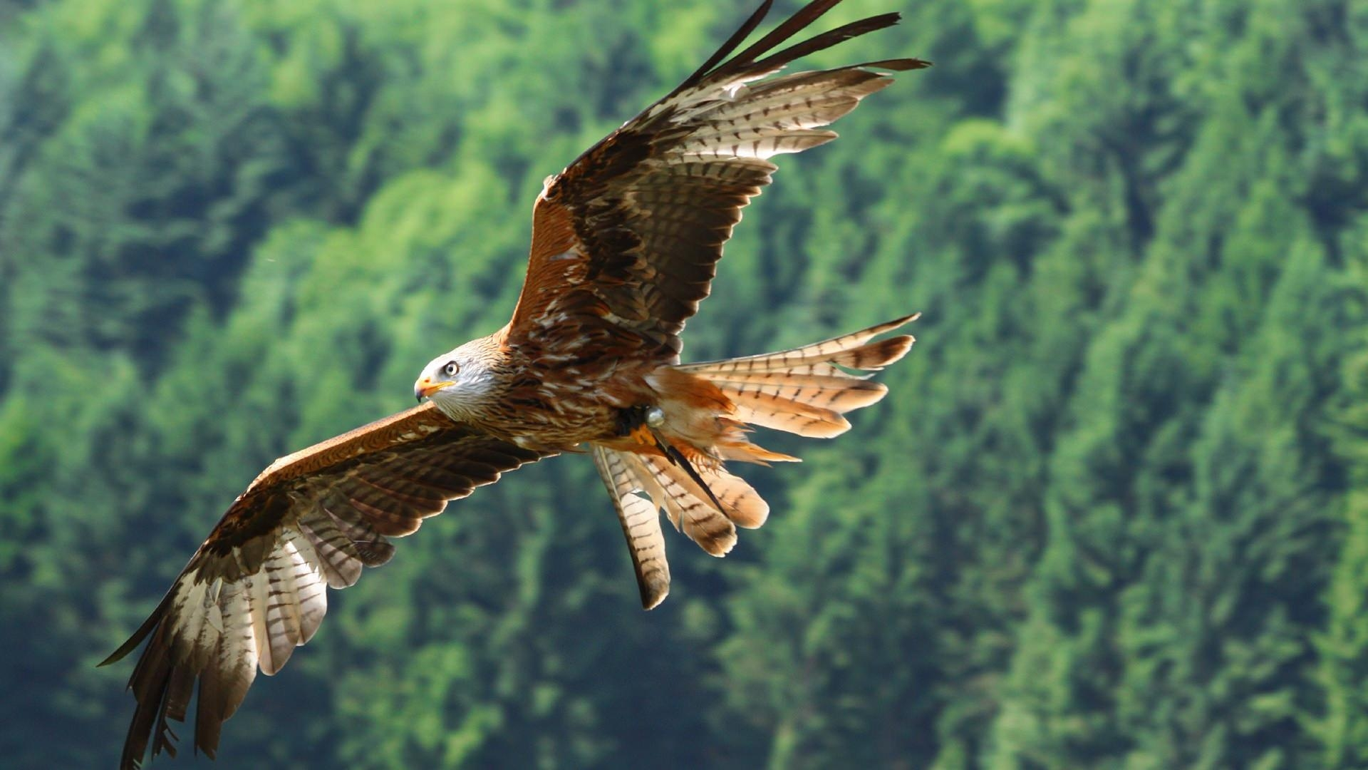 Eagle Bird Flying Wallpaper