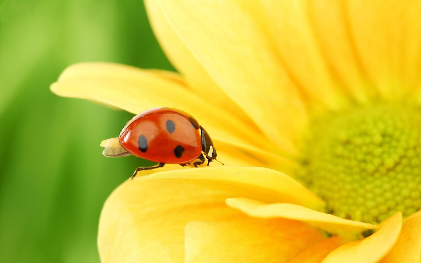 Elegant Ladybug Wallpaper