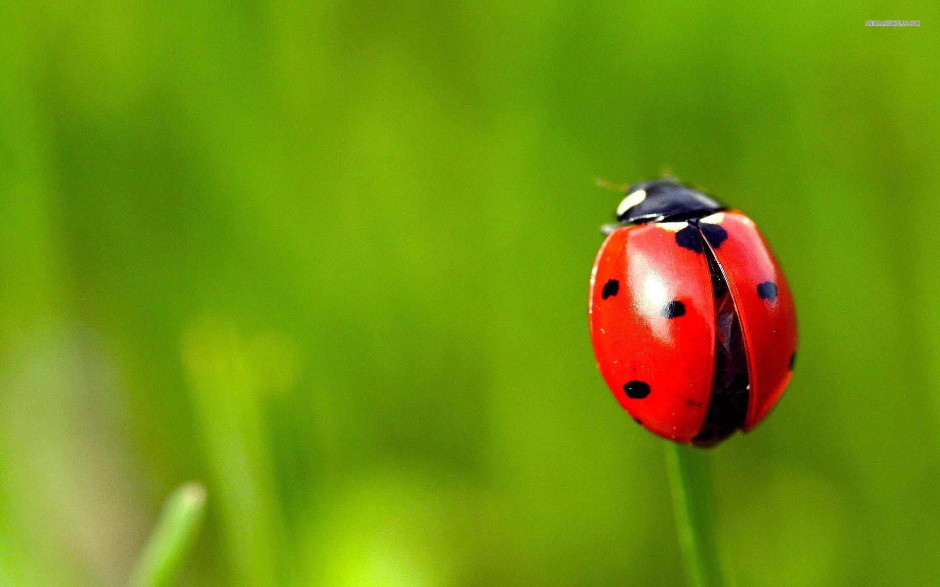Fabulous Ladybug Wallpaper