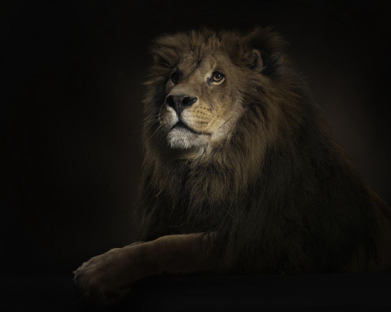 Fabulous Lion Wallpaper