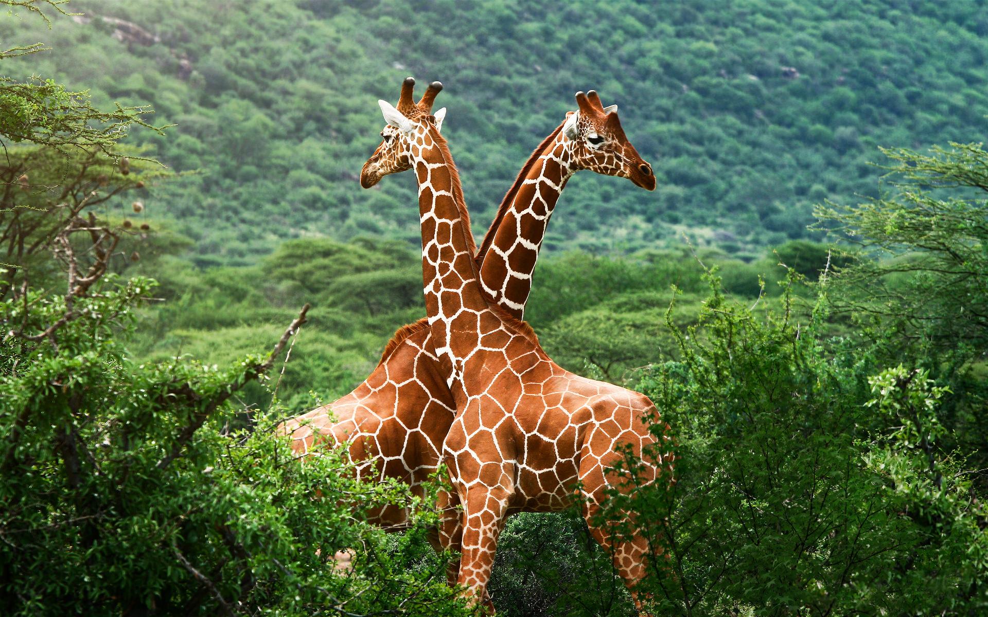 Fantastic Giraffe Wallpaper