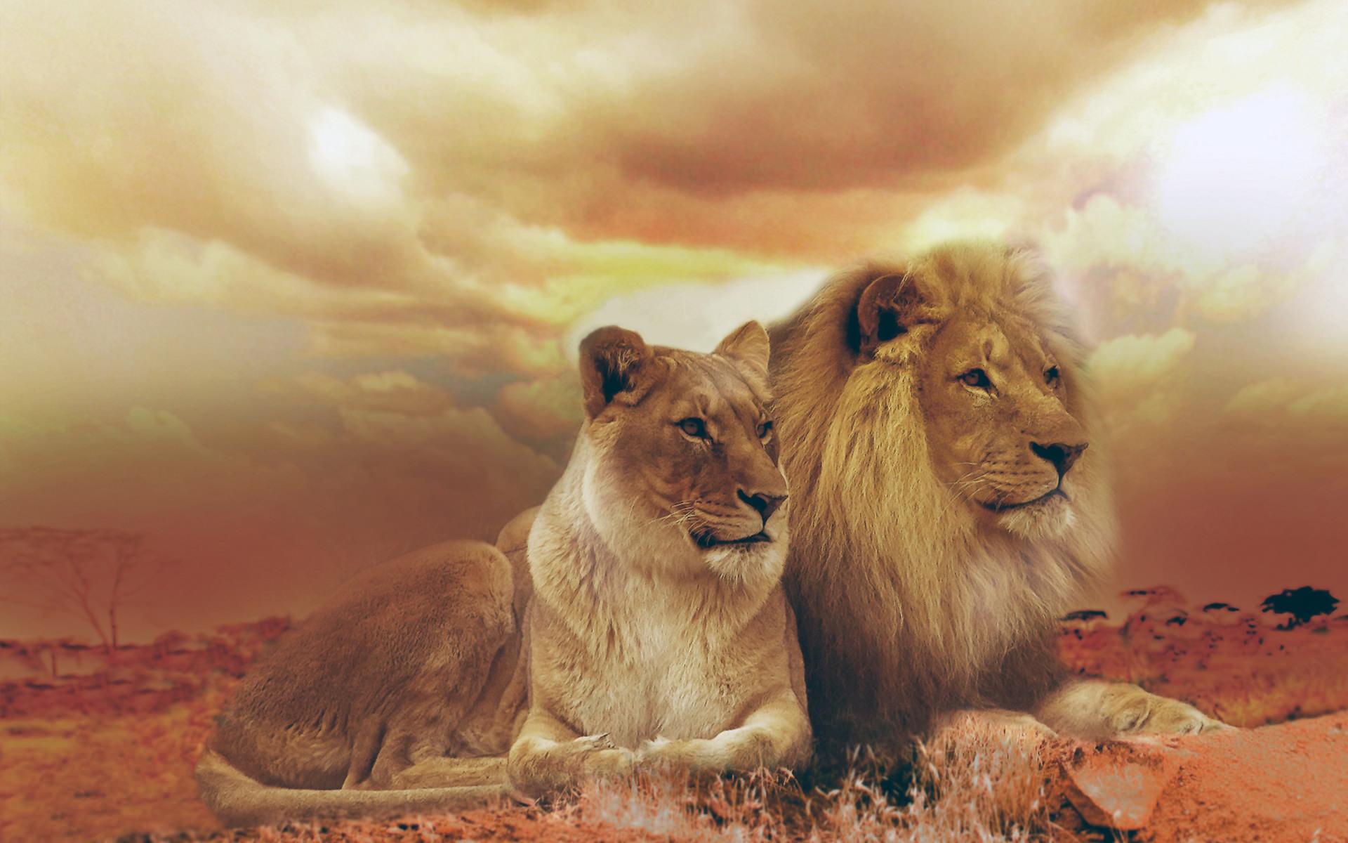 Female & Male Lions Wallpaper