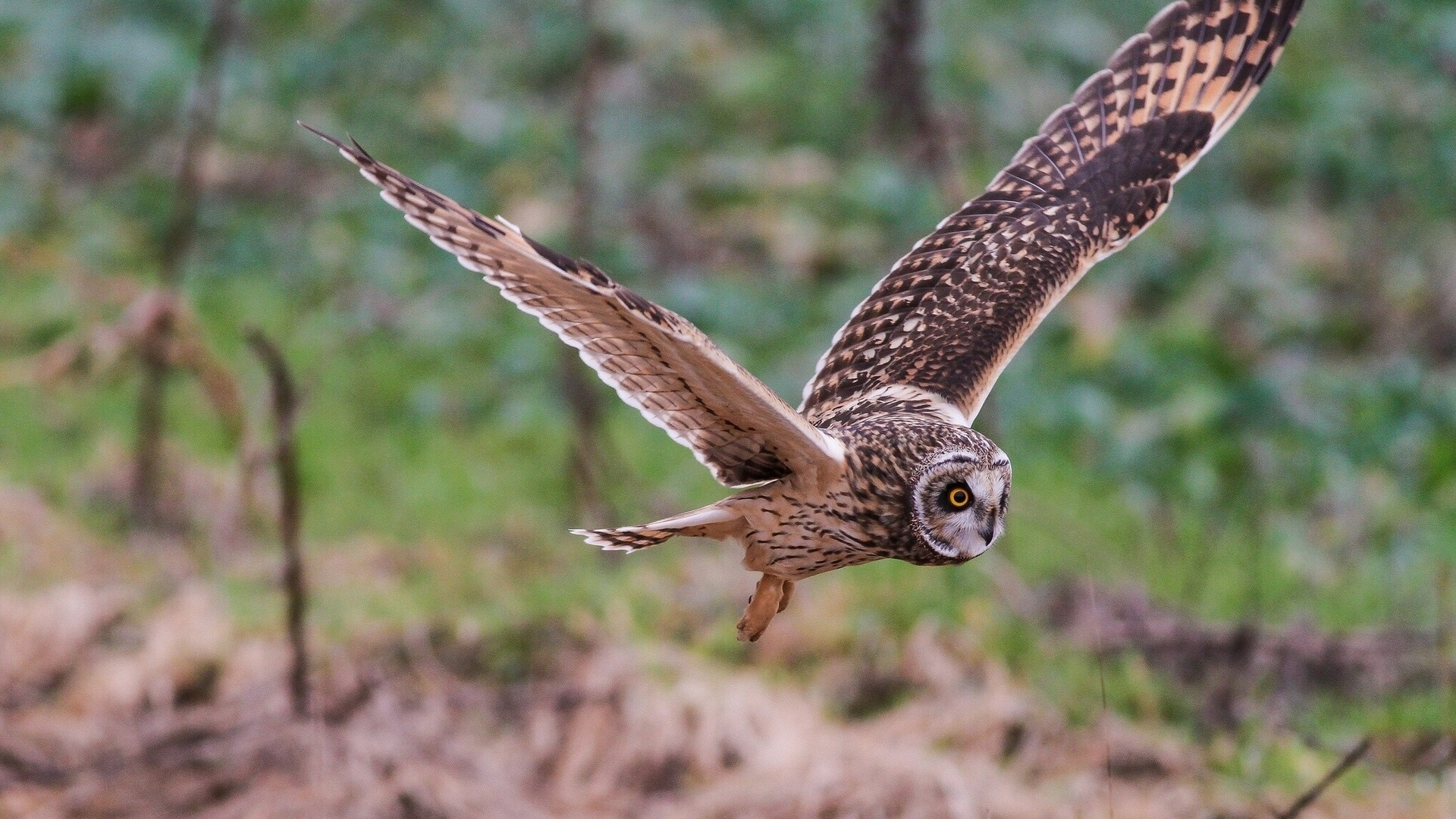 Flying Owl Bird Wallpaper