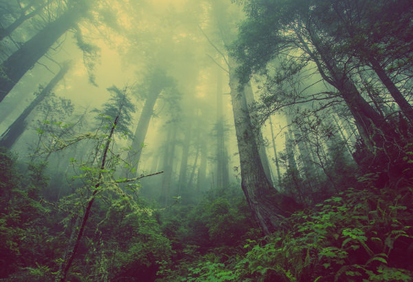 Fog in Forest Wallpaper