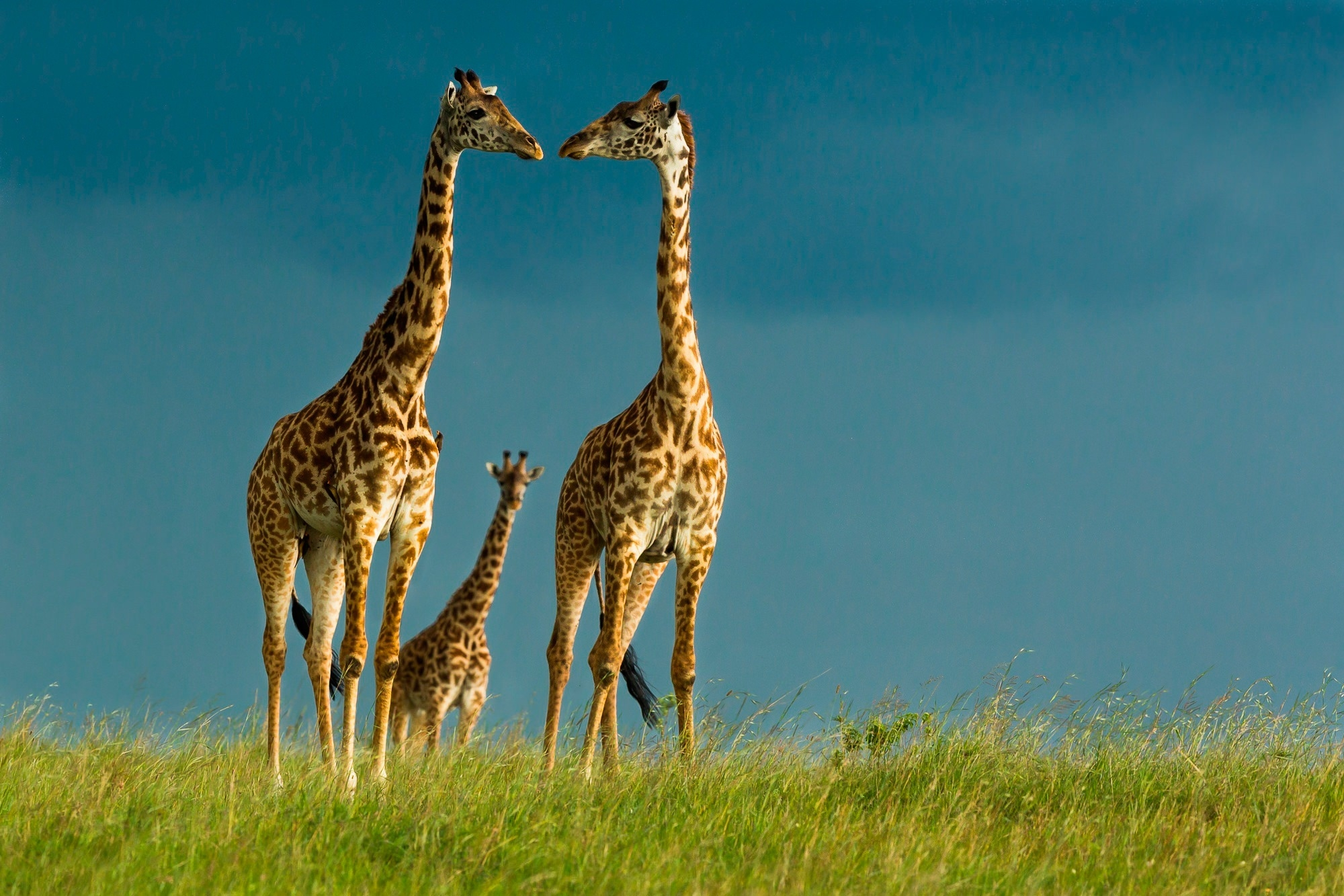 Free Giraffes Wallpaper For You