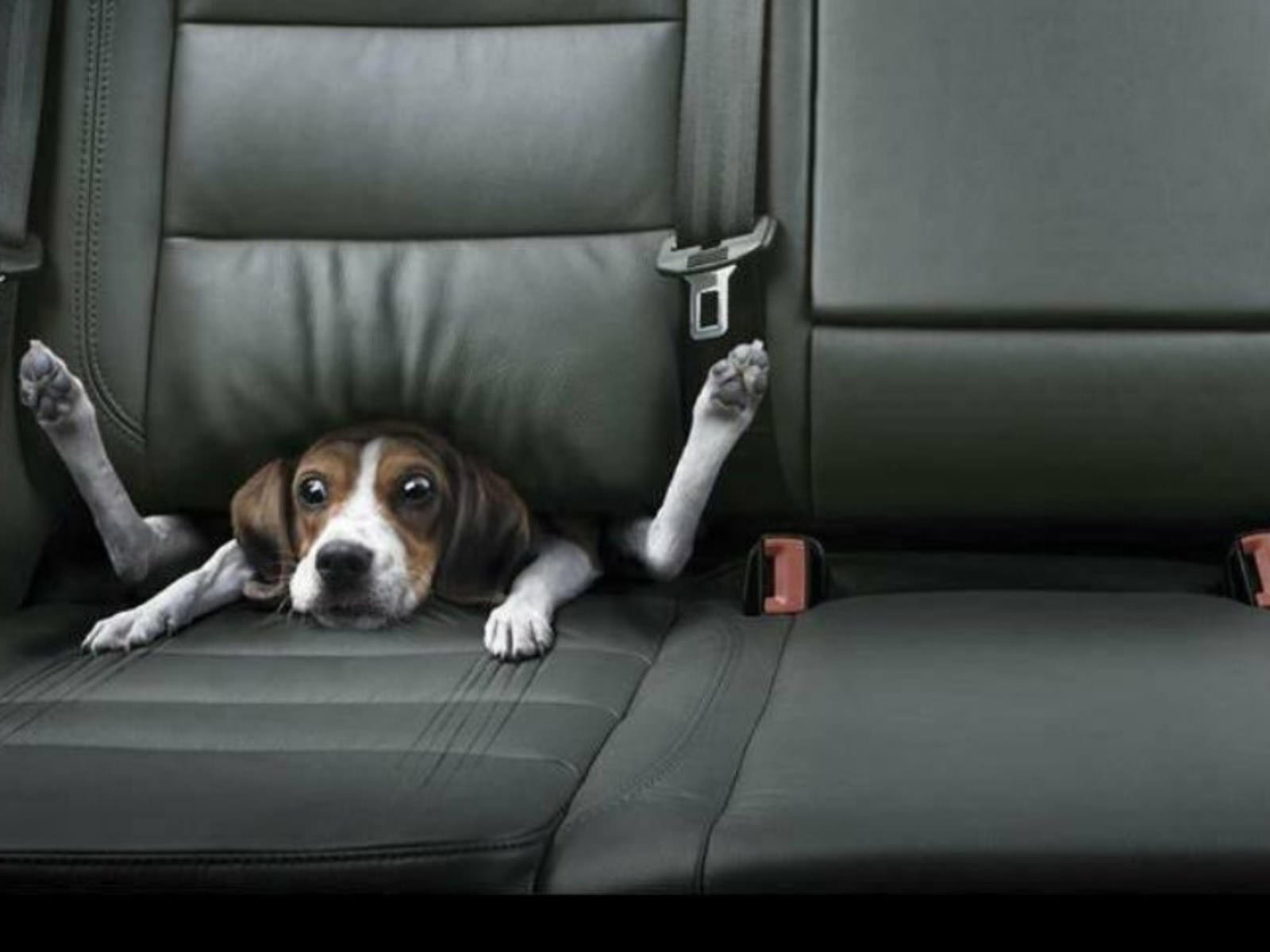 Funny Wallpaper of Dog in Car