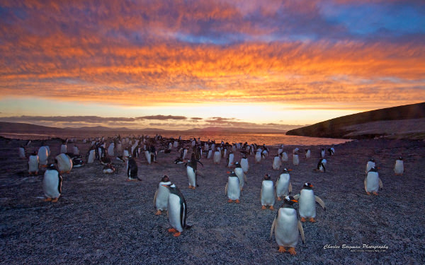 Gentoo Penguin Colony Wallpaper