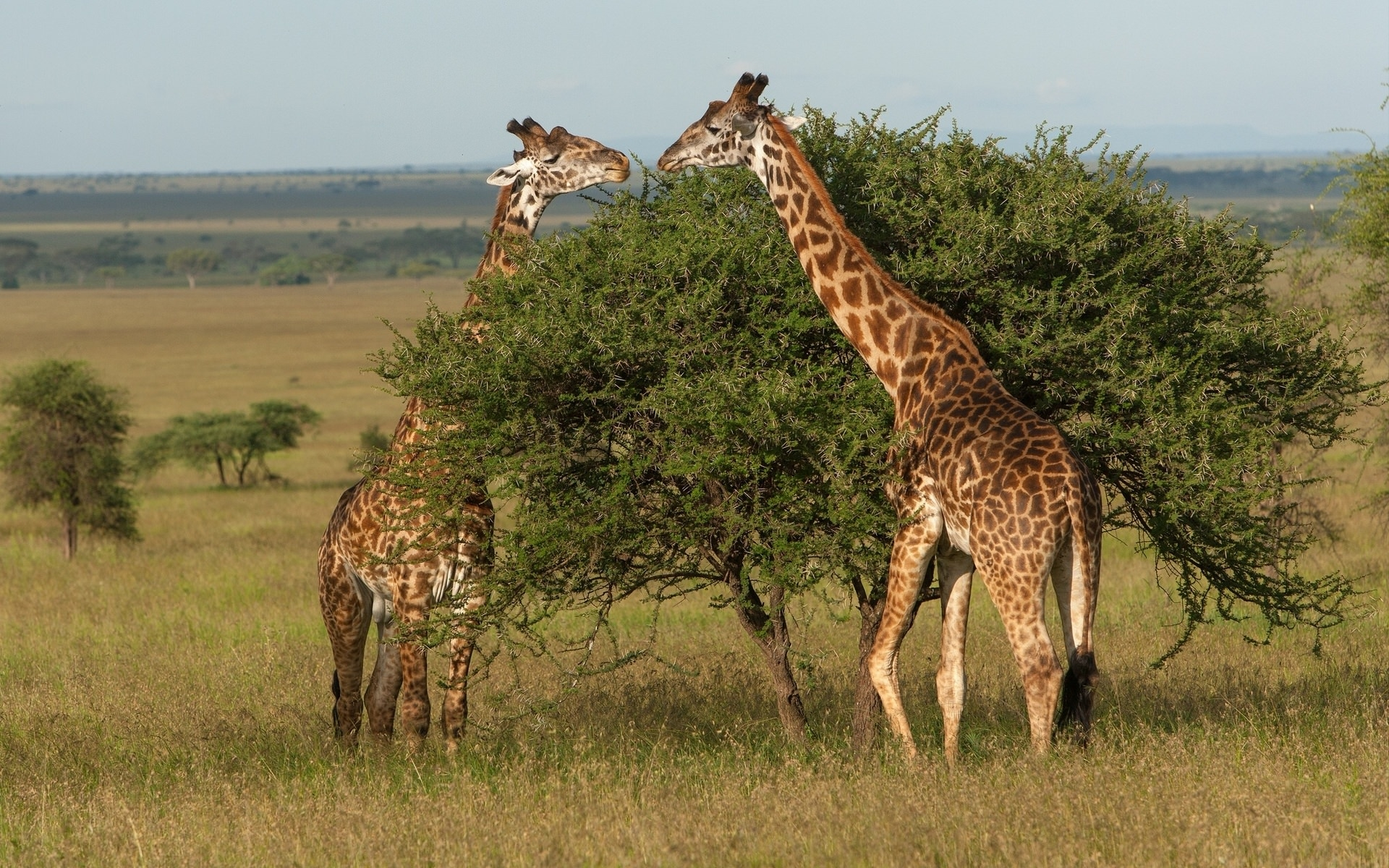 Giraffe Grazing Wallpaper