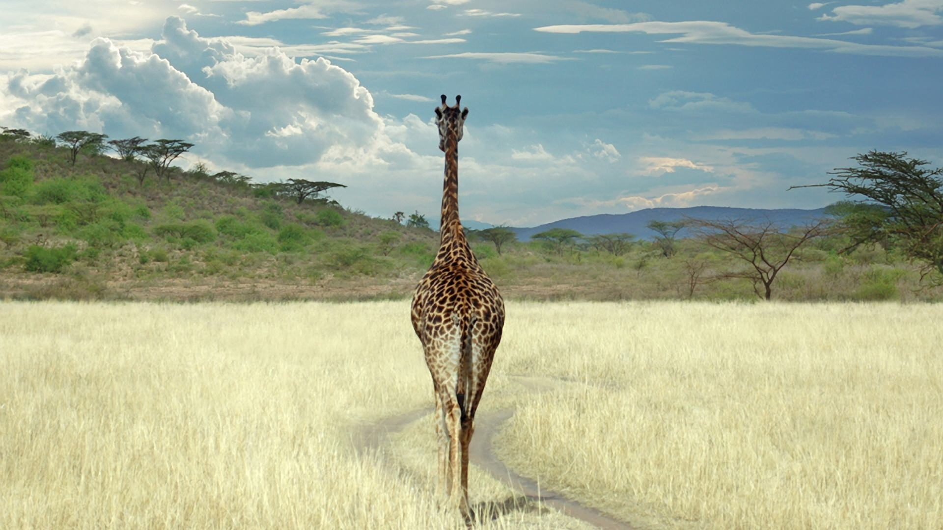Giraffe Walking in Savanna Wallpaper