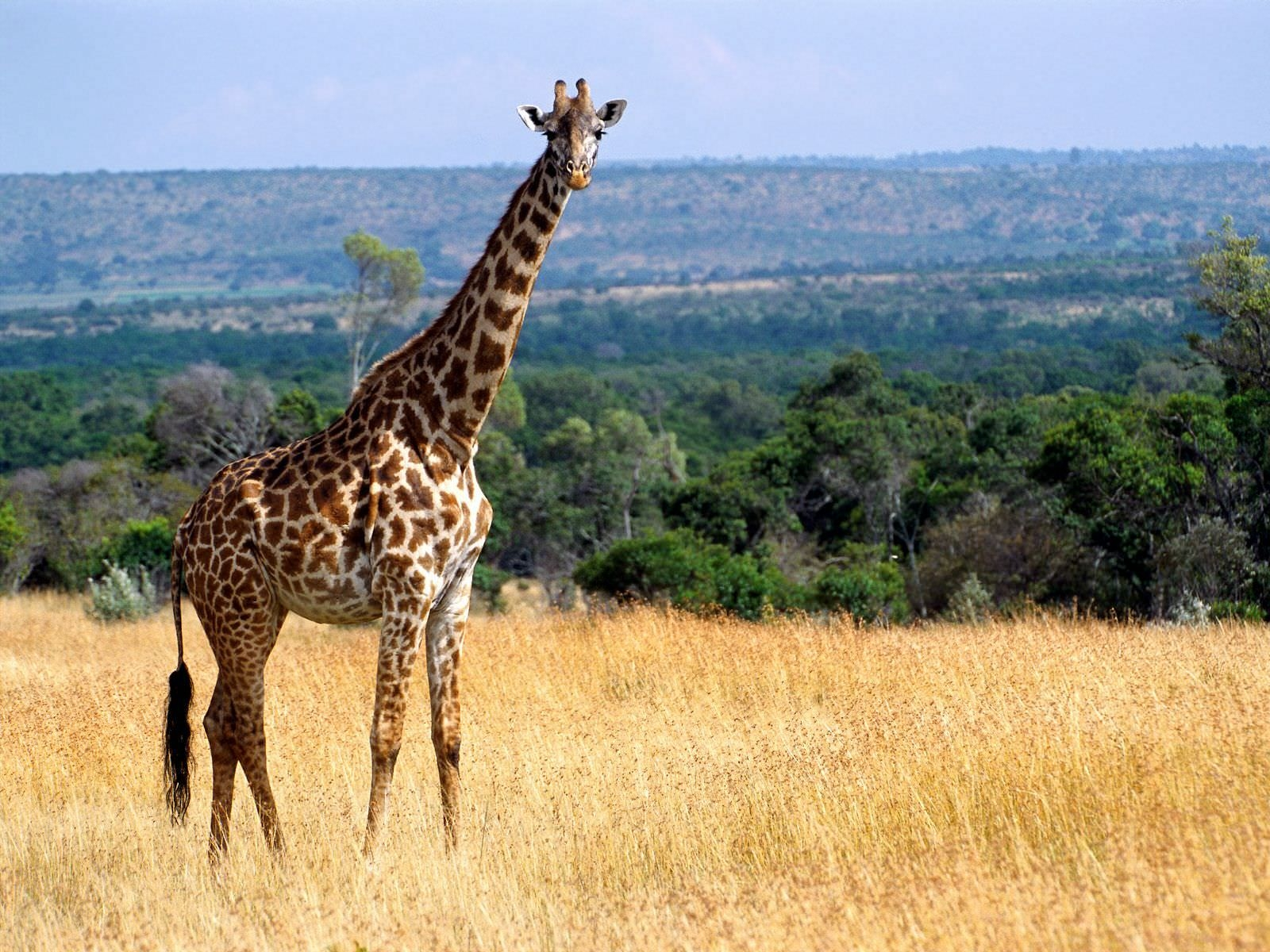 Giraffe Wallpaper For Download
