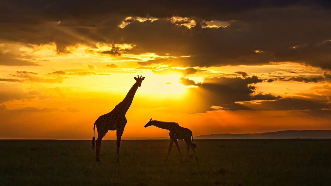 Giraffe at Sunset Wallpaper