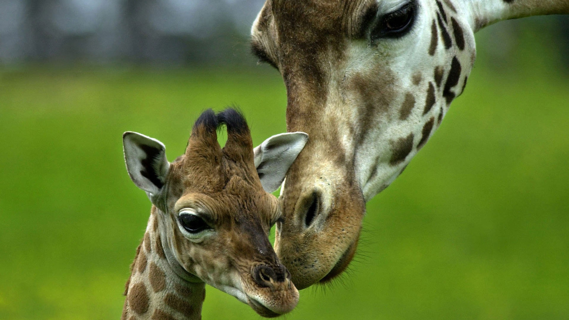 Giraffe with Baby Wallpaper