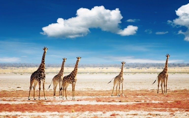 Group of Giraffes Wallpaper