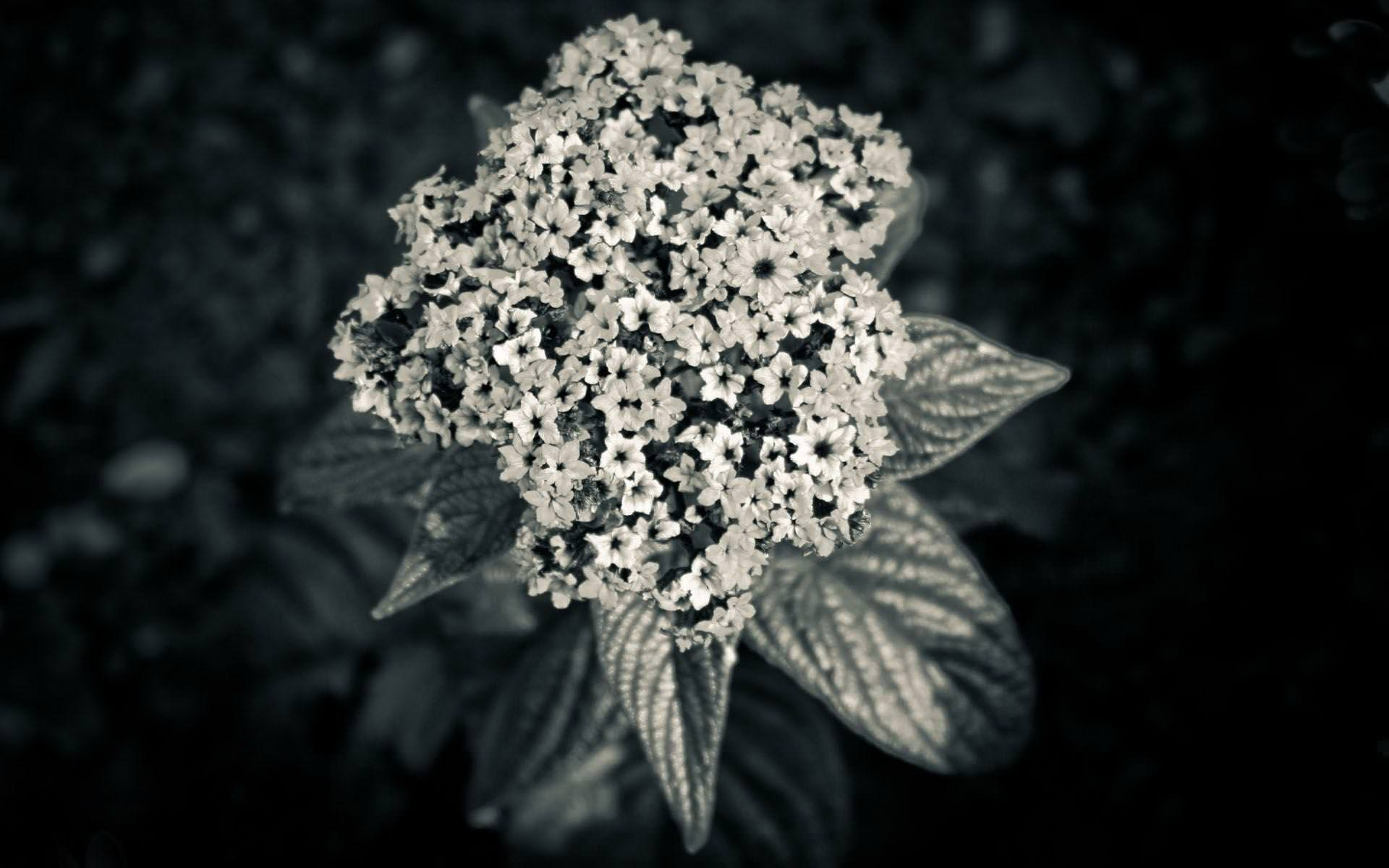 HD Black & White Flower Wallpaper