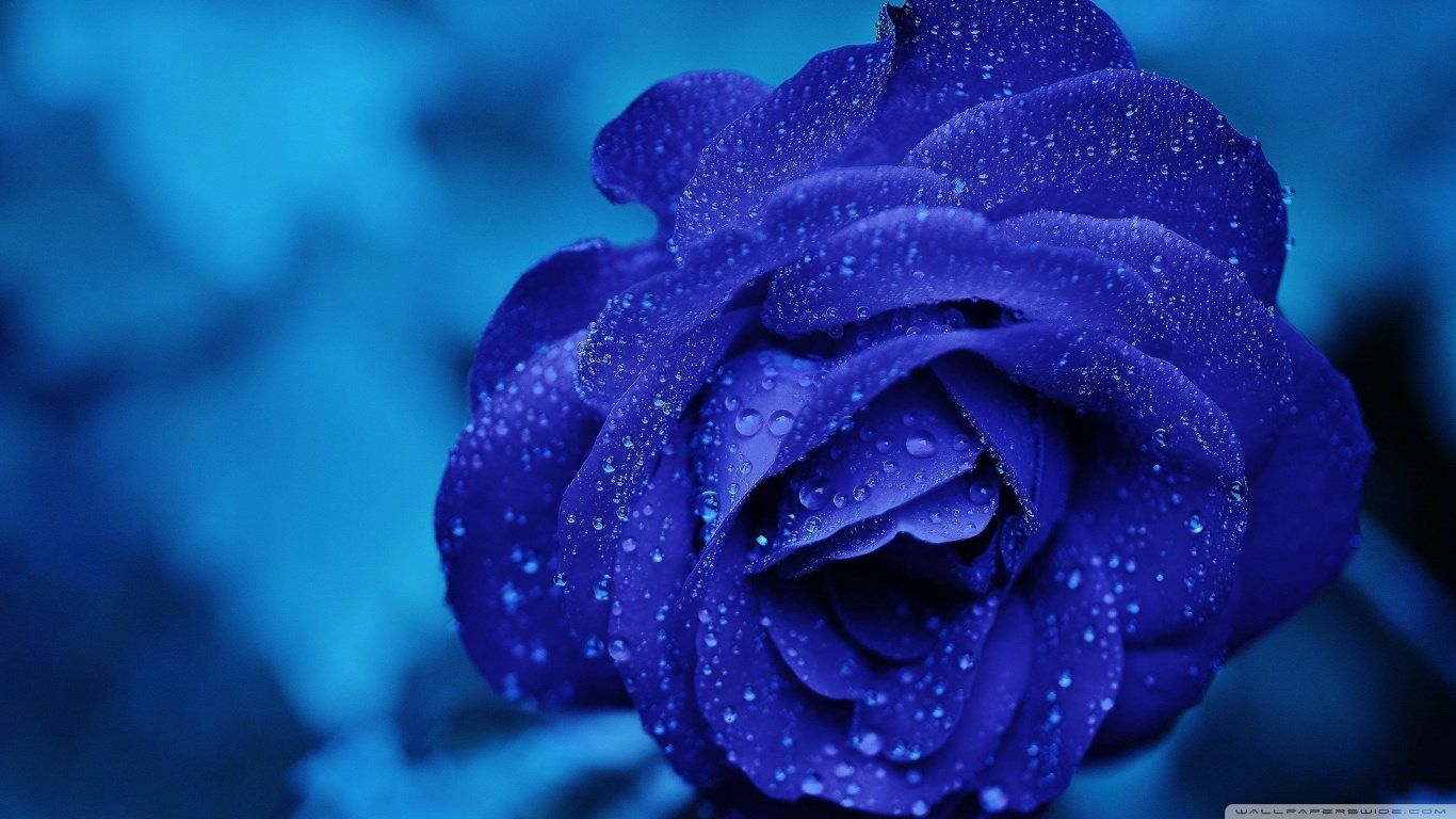 High Quality Blue Rose Background