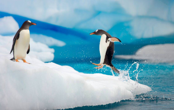Jumping Baby Penguins Wallpaper