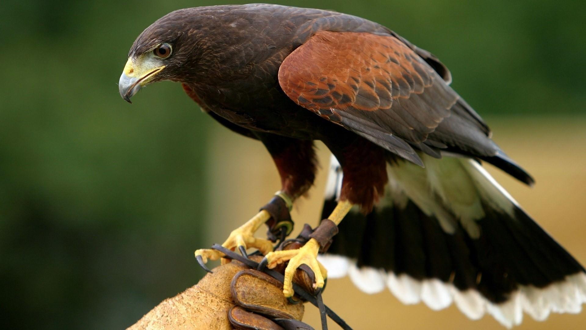 Killing Bird Eagle Wallpaper