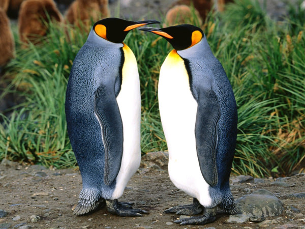 King Penguins Wallpaper