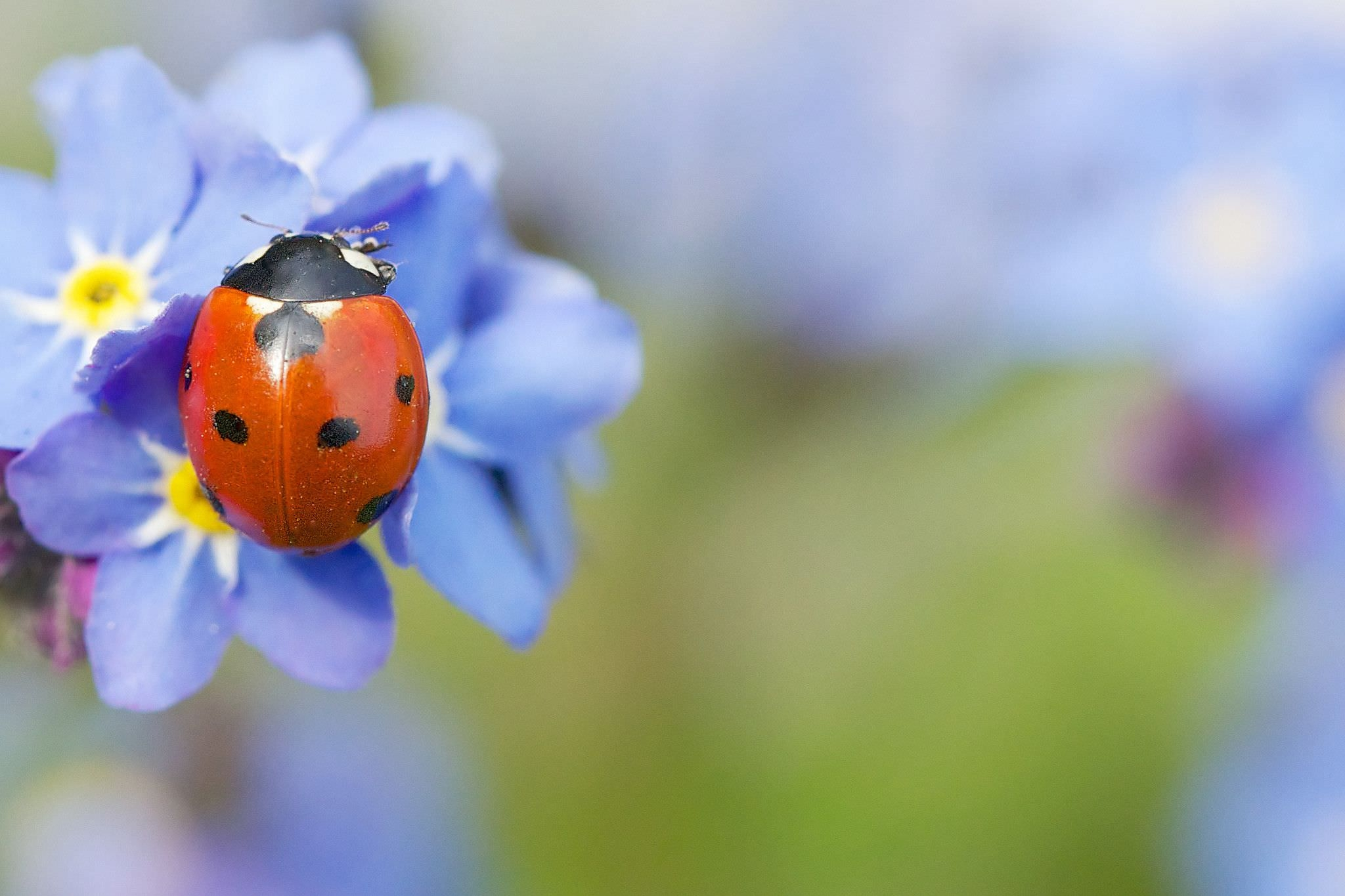 Голубые цветы божья коровка бесплатно