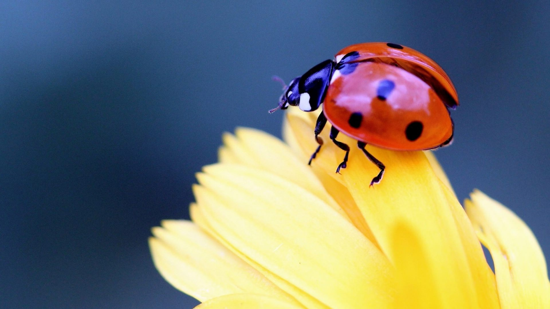 Ladybug on Flower Wallpaper