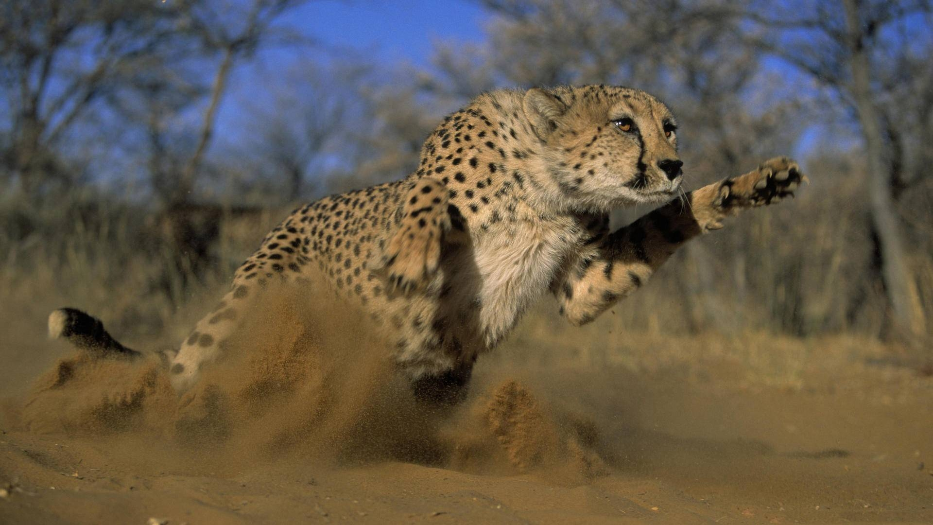Leopard Chasing Wallpaper