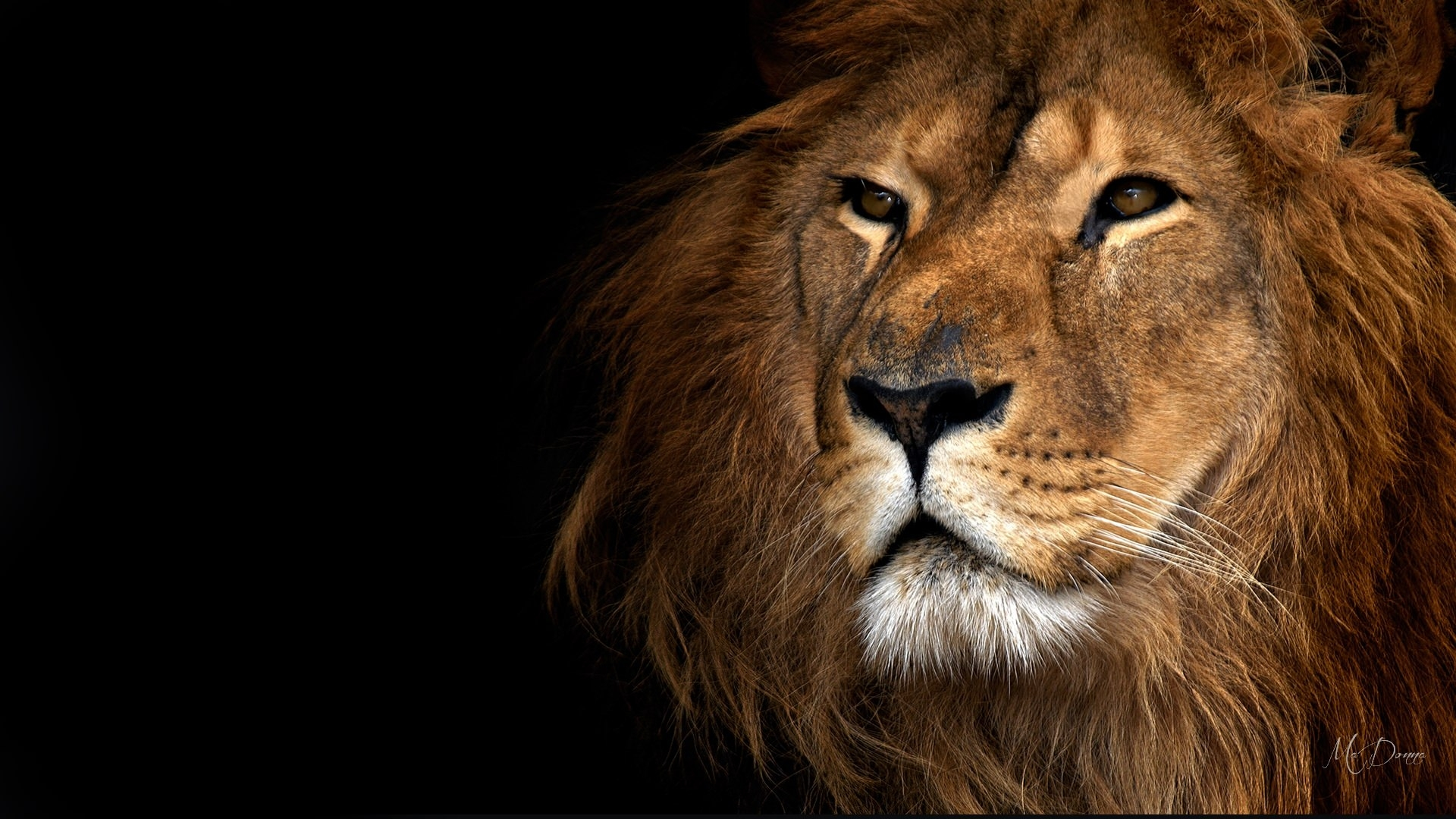 Lion Royalty Wallpaper