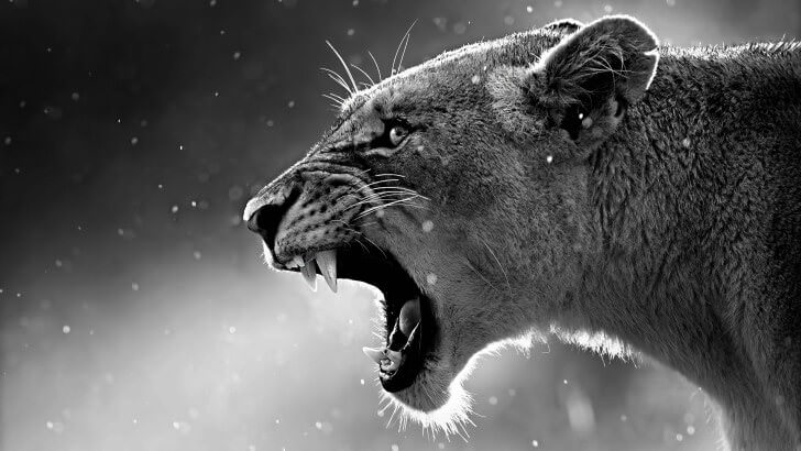 Lioness In Black & White Wallpaper