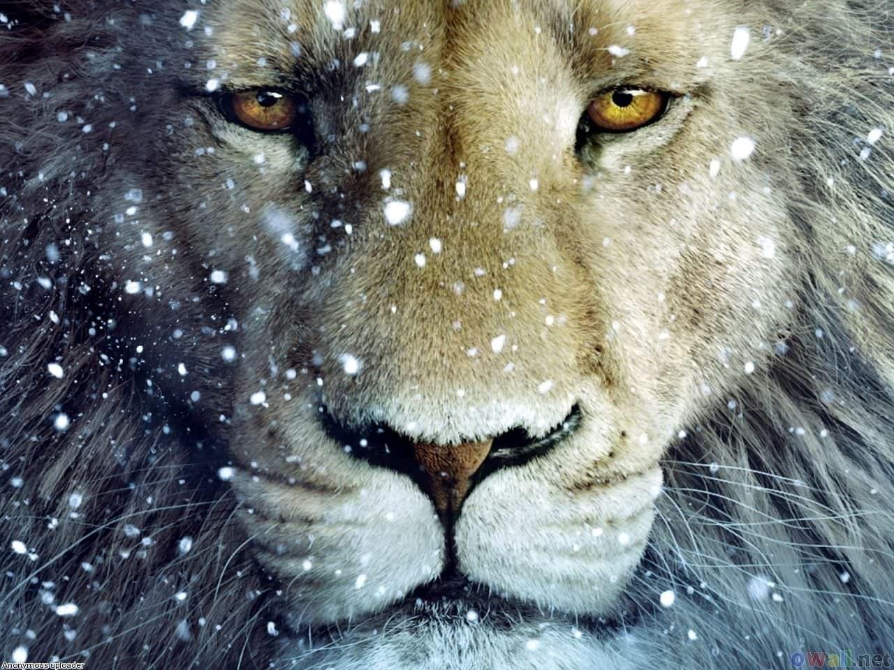 Magnificent Lion Wallpaper