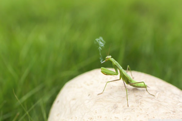 Mantis Smoking Funny Wallpaper