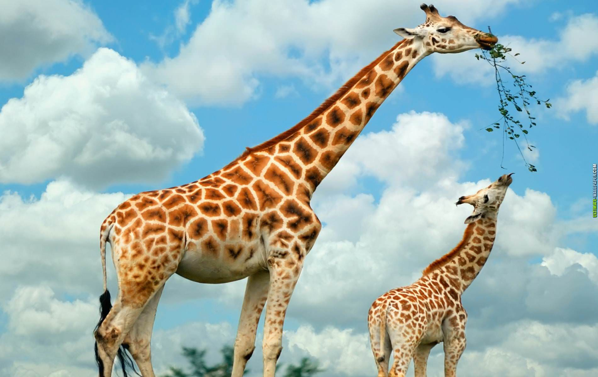 Mother Giraffe Feeding Baby Wallpaper