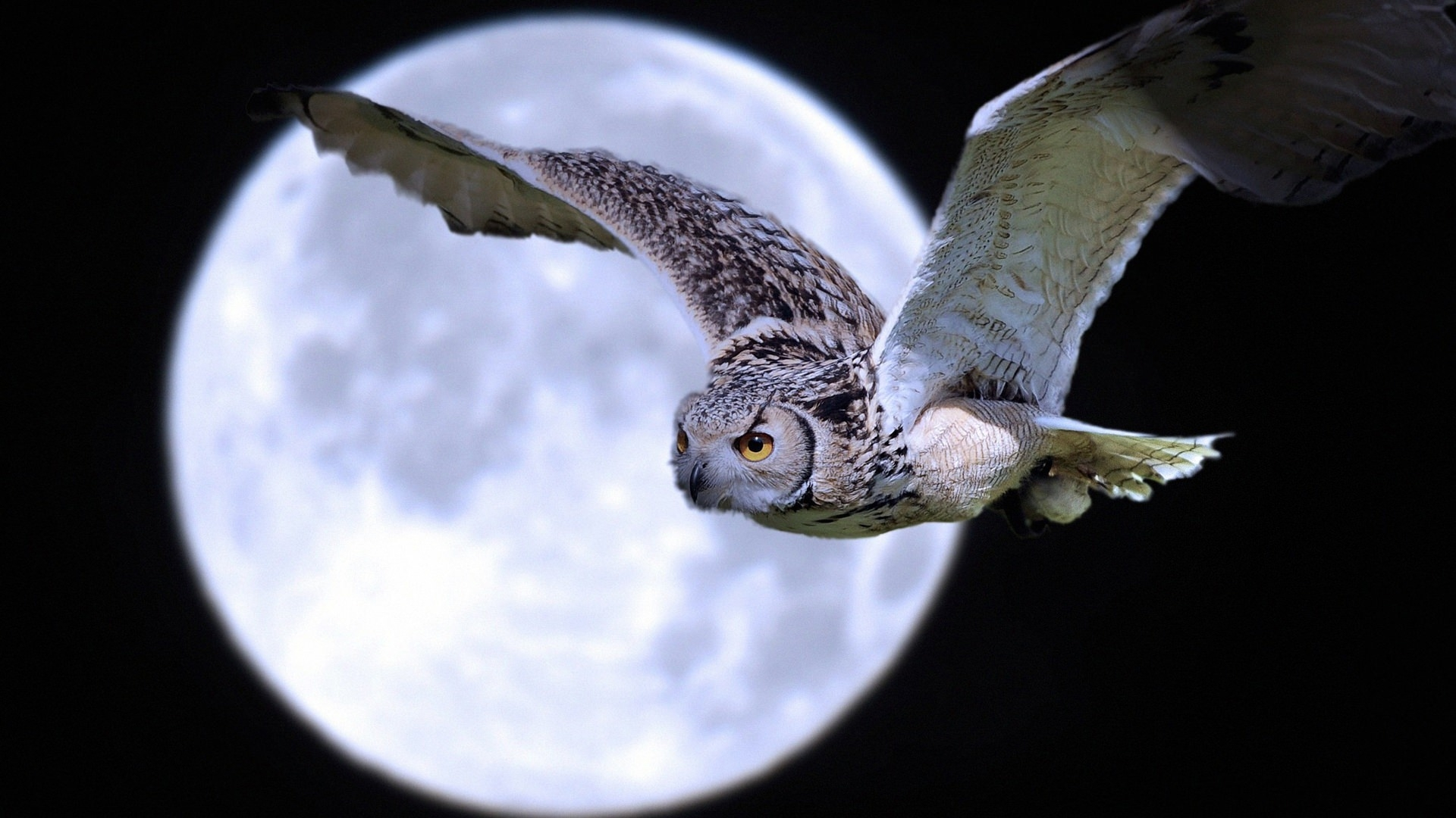 Owl Bird Flying Wallpaper