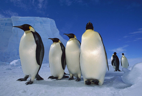 Penguin in Antarctica HD Wallpaper