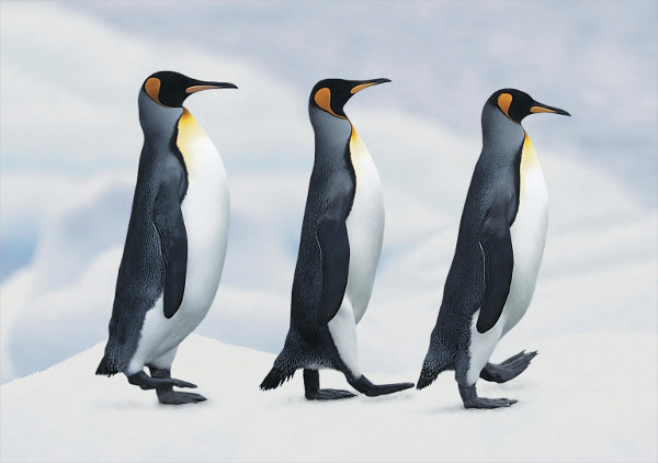 Penguins Marching Together Wallpaper