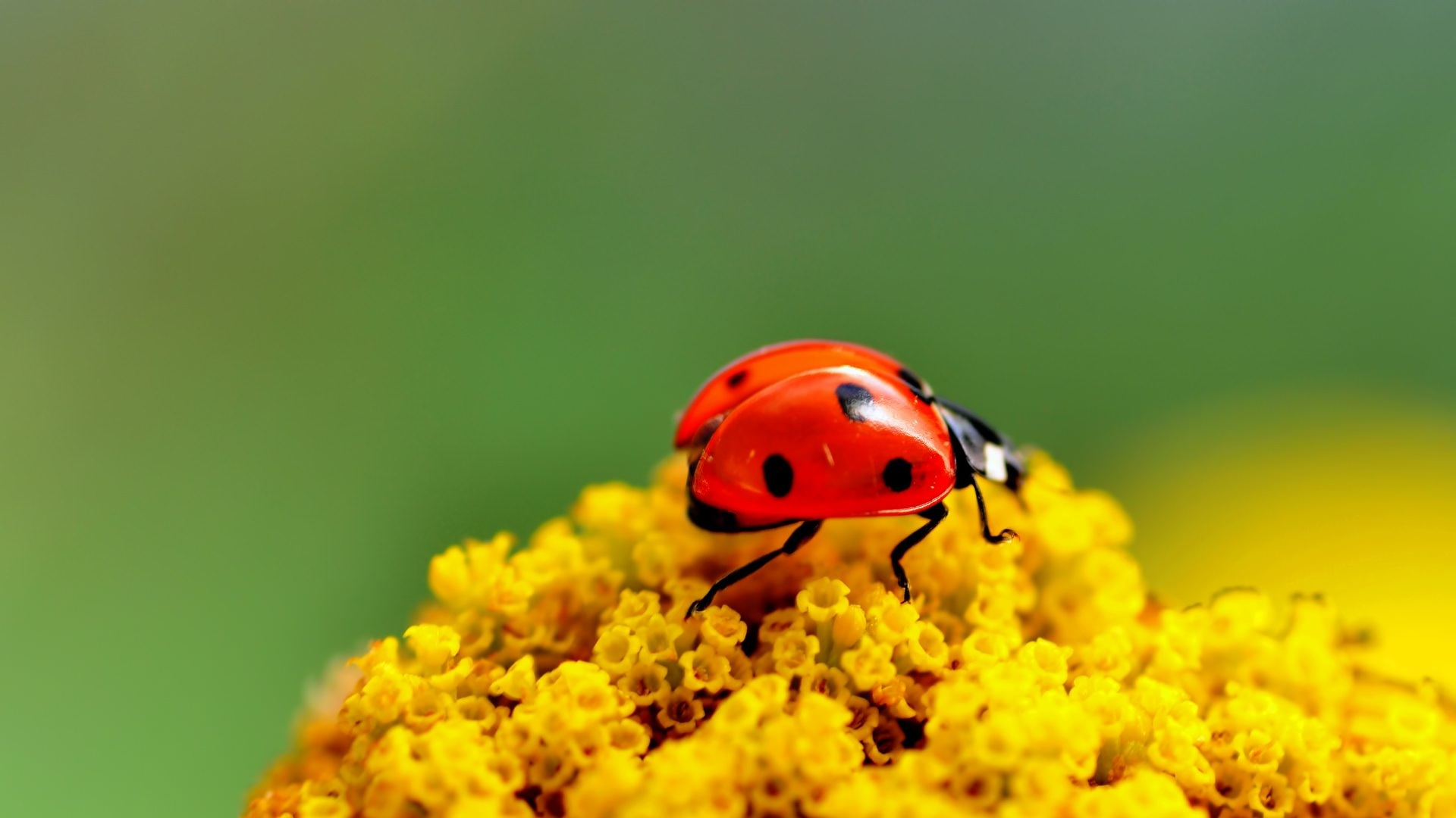 insects ladybirds desktop wallpapers - photo #27