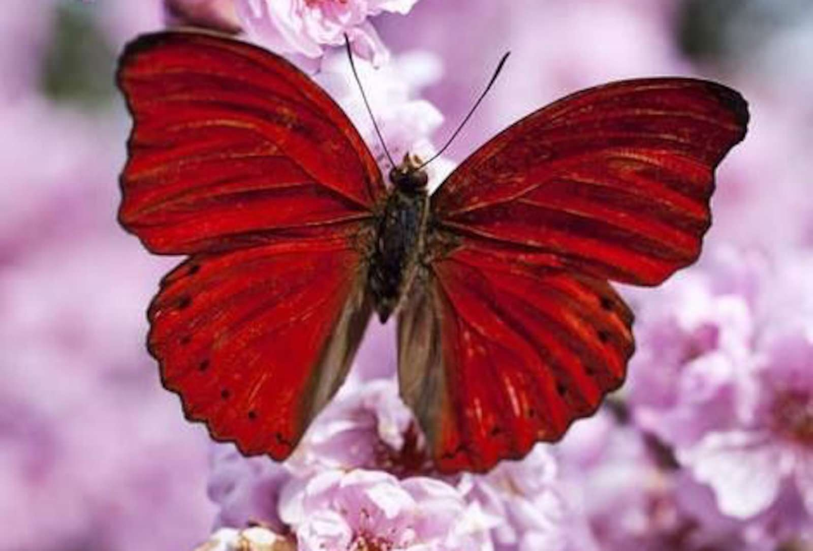 Red Butterfly on Pink Flowers Wallpaper