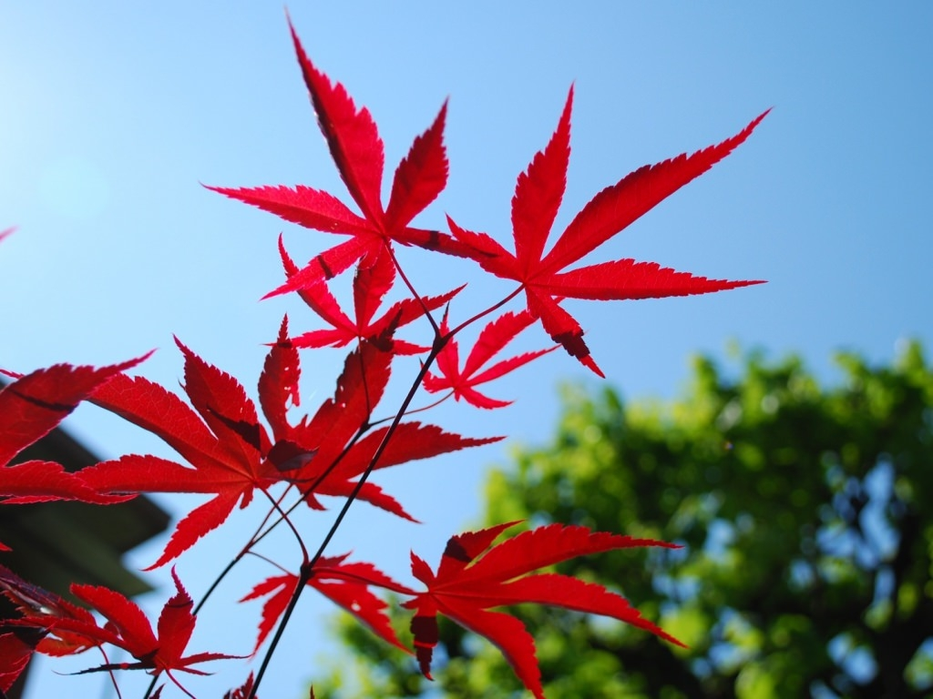 Red Leaves Wallpaper For Download