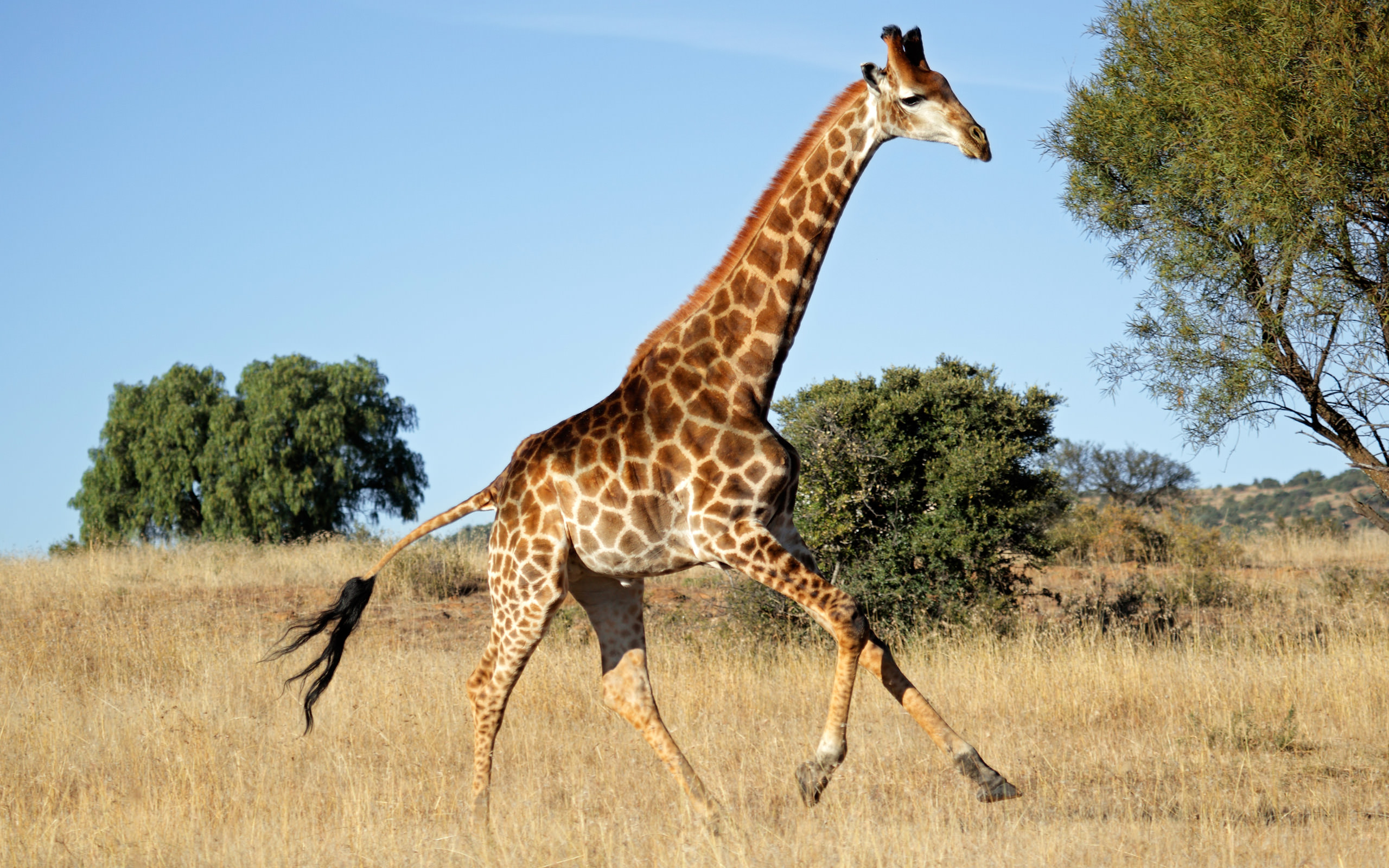 Running Giraffe Wallpaper