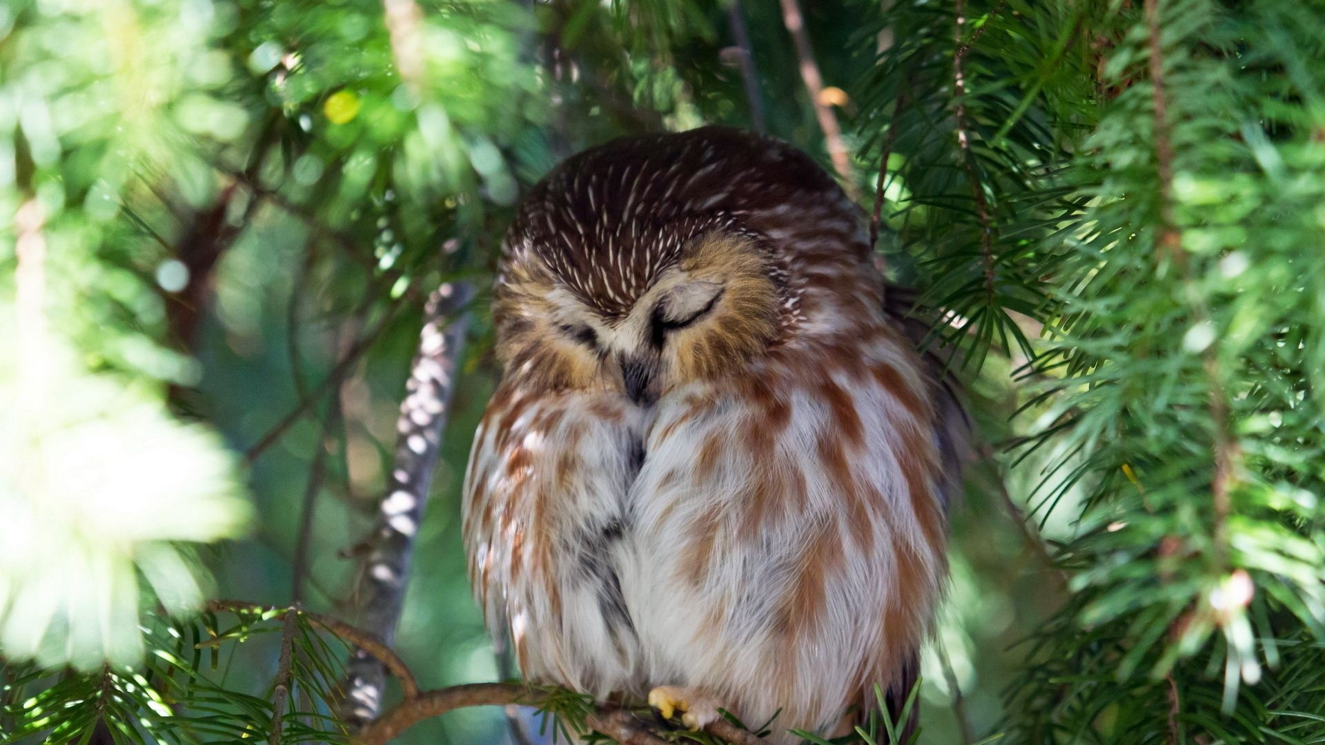 Sleeping Owl Wallpaper