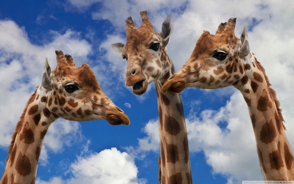 Small Talk of Giraffe Funny Wallpaper